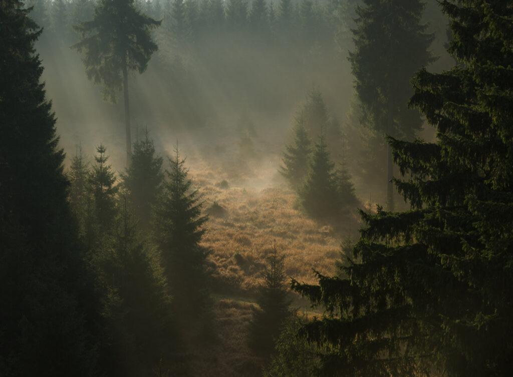 Wald Tanne Fichte Nebel